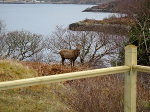 Deer in the garden, with Gairloch in the background